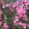 Juni - Oleander